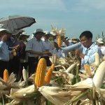 Đô Lương tổ chức hội thảo đầu bờ giống ngô lai đơn B265