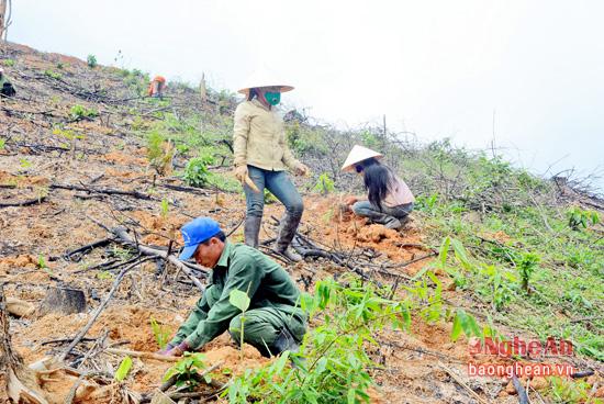 Trồng rừng nguyên liệu  tại vùng phía Tây Yên Thành.