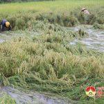 Đô Lương 500 ha lúa bị ngập nước và ngã đổ