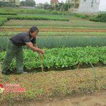Đô Lương gieo trồng 625 ha cây vụ Đông