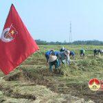 120 cán bộ, đoàn viên thanh niên Đô Lương giúp bà con nông dân xã Minh Sơn thu hoạch lúa Hè thu