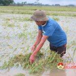 Đô Lương 1.800 ha lúa hè thu bị đổ và ngập trong nước