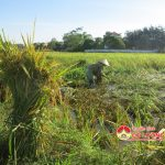 Bà con nông dân Đô Lương tập trung khắc phục hậu quả mưa lũ, thu hoạch nhanh diện tích lúa hè thu.