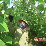 Xã Tân Sơn, Đô Lương trồng dưa chuột đạt 300 triệu đồng/ ha