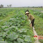 Xã Lưu Sơn, huyện Đô Lương thu hoạch rau màu vụ Đông đạt 60 triệu đồng/ha