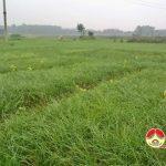 Lãi khủng 500 triệu đồng/ha hành tăm ở Đô Lương