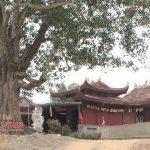 Cây Bồ Đề hơn 200 năm tuổi ở xã Ngọc Sơn