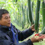 Anh Nguyễn Phùng Khởi làm giàu từ cây bí xanh