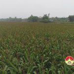 Đô Lương thu hoạch 1.100 ha ngô bãi