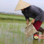 Bà con nông dân xã Hòa Sơn tập trung diệt ốc bươu vàng.