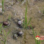 Đô Lương nhiều xã bị ốc Bươu vàng hại lúa