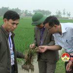 Đồng chí Nguyễn Trung Thành – Phó chủ tịchUBND huyện kiểm tra tình hình sâu bệnh trên diện tích lúa vụ xuân.