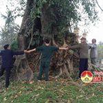 Cây Đa 300 năm tuổi làng Bạch Ngọc