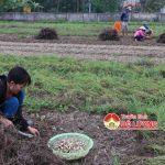 Bà con nông dân xã Trù Sơn( huyện Đô Lương) thu hoạch 50 ha cây hành tăm