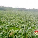 Lốc làm gần 30 ha ngô ở Đông Sơn- Đô Lương bị đổ gãy
