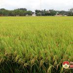 Hội thảo đầu bờ giống lúa Nam Hương 4