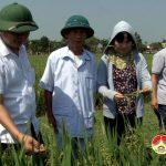 Đồng chí Nguyễn Trung Thành kiểm tra chất lượng giống lúa mới tại xã Mỹ Sơn và Minh Sơn