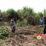 Mía trái vụ thu nhập cao ở Giang Sơn Đông