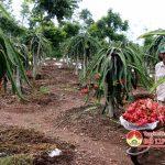 Hiệu quả từ mô hình trồng Thanh Long ruột đỏ ở Đô Lương