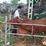 Đô Lương tiêm 35.000 liều vắc xin phòng bệnh gia súc
