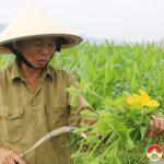 Xã Lưu Sơn, Đô Lương: Thu hoạch cây vụ đông đạt 140 triệu đồng/ha
