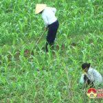 Đô Lương phát huy thế mạnh đất bãi ven sông Lam