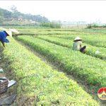 Làng rau giống cho thu nhập cao