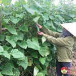 Nông dân Thịnh Sơn thu nhập cao từ Dưa chuột vụ Đông