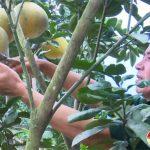 Cựu chiến binh Thái Văn Dũng làm giàu từ trồng bưởi Diễn