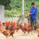Trang trại gà Đô Lương tăng cường Gà đồi phục vụ Tết