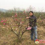 Anh Ngô Trí Tuấn có hàng trăm gốc đào ghép độc đáo