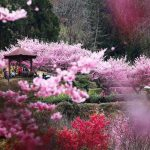 Những chốn ngắm hoa xuân tuyệt đẹp ở châu Á