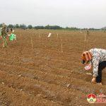 Bà con nông dân xã Trung Sơn tập trung trỉa 80 ha ngô sản xuất vụ Xuân