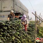 Trung Sơn nâng cao thu nhập cho nông dân nhờ chuyển đổi trồng bí