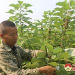 Anh Lê Văn Toàn trồng 1 ha cây Gai nguyên liệu
