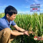 Hội thảo đánh giá giống lúa chất lượng cao HDT10