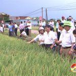 Đô Lương: Hội thảo đánh giá giống lúa QP 5 cho năng suất cao