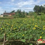 Hồng Sơn: Thu nhập cao từ cây mướp hương