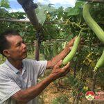 Thu nhập cao từ trồng mướp