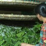 Đô Lương – Thức dậy nghề truyền thống trồng dâu nuôi tằm