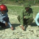 Gần 100 ha lúa ở Mỹ Sơn héo khô vì thiếu nước tưới