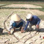 Mỹ Sơn – Hồ đập khô cạn, hàng trăm ha lúa hè thu khô héo