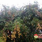 Hàng trăm cây nhãn quả nứt rụng do mưa kéo dài