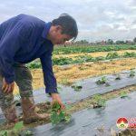 Nông dân Trung Sơn chăm sóc cây trồng sau mưa lũ