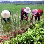 Nông dân Đô Lương tập trung chăm sóc lúa hè thu