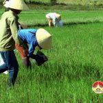 Đô Lương tập trung diệt ốc bươu vàng hại lúa hè thu