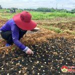 Nông dân Đô Lương: Tập trung gieo trồng cây hành tăm