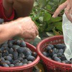 Hiệu quả cây trám đen ở xã miền núi Nam Sơn