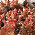Trang trại gà Đô Lương sẵn sàng nguồn gà trống phục vụ rằm tháng 7