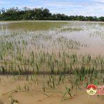 Xã Bồi Sơn mất trắng 50ha lúa